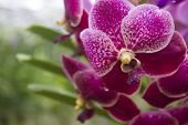 picture of angiosperms  - Vandas are fascinating orchids that may be grown with relative ease - JPG