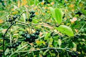 picture of aronia  - Aronia Melanocarpa hanging on a branch in nature - JPG