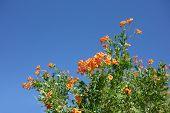 stock photo of honeysuckle  - Flowering Cape Honeysuckle shrub on blue sky background - JPG