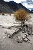 Desert plant at Nubra Valley sand dunes. India
