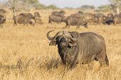 pic of cape buffalo  - Male Cape Buffalo  - JPG