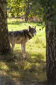 stock photo of north american gray wolf  - North American Gray Wolf - JPG