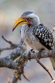 Southern Yellow-billed Hornbill Bird