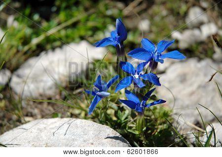 Gentiana Flower