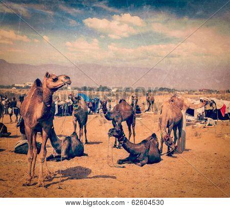 Vintage retro hipster style travel image of camels at Pushkar Mela (Pushkar Camel Fair), Pushkar, Rajasthan, India with grunge texture overlaid