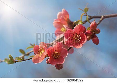 Chaenomeles in flower in spring
