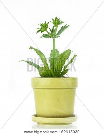 Culantro  Plant In Pot