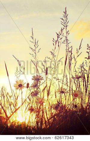Sunset at daisy field
