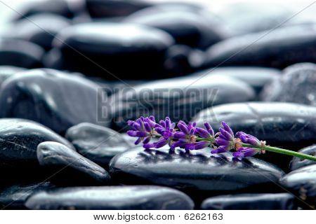 Lavender Flower Wisp On Bed Of Stones