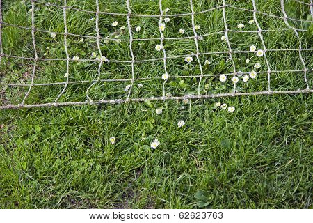 Daisies On The Football Field