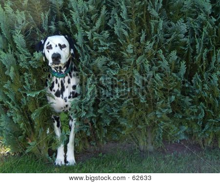 Dog In Bush