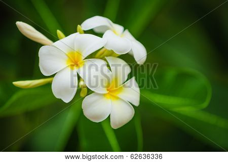 Beautiful White Flowers Of Plumeria (frangipani) On Green Foliage Background