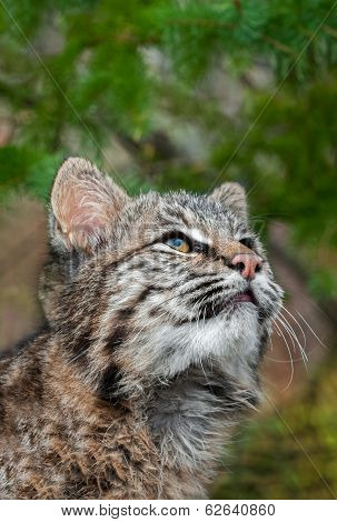 Bobcat Kitten (Lynx rufus) Looks Way Up