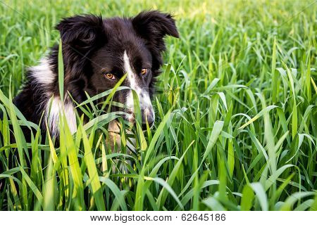 Deep Look Of A Wild Border Collie In The Green Weeds.