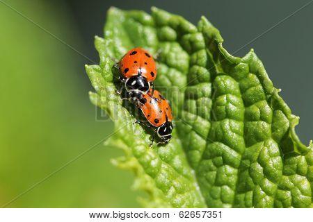 Beautiful Lady Bugs Coccinellidae aka