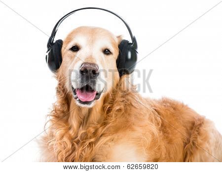 red retriever with headphones looking ito the camera