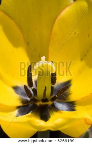 Tulip close up
