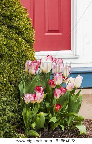Pretty pink tulips flower beside the entrance to a home.
