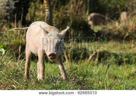 Defiant Young Pig On A Slight Hill