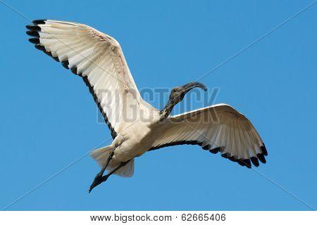 Sacred Ibis (threskiornis Aethiopicus) In Flight