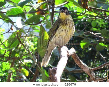 Figbird  Male