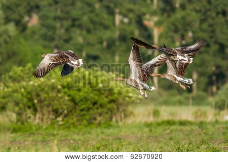 Greylag Gooses
