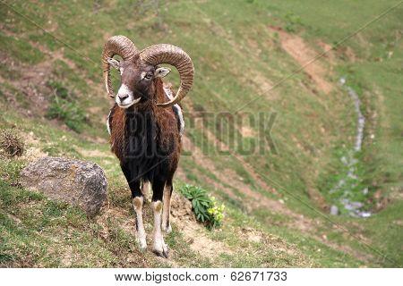 Capricorn - Ram