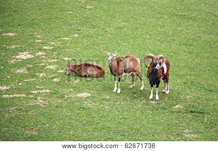Three Capricorns - Rams