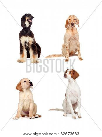 Four dogs of different races sitting isolated on white background