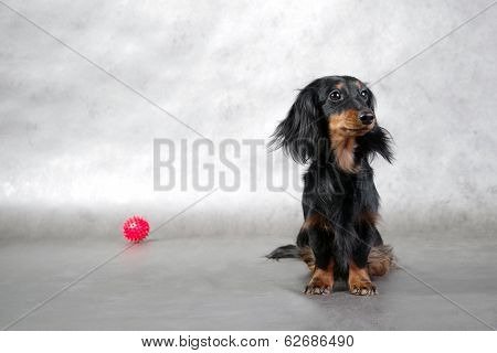 Miniature longhaired dachshund and red toy ball