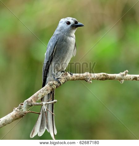 Ashy Drongo (dicrurus Leucphaeus) Grey Color Bird Perching On Nice Branch