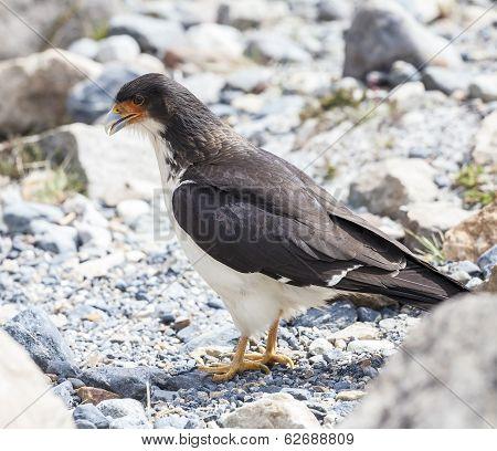 Mountain Caracara Bird.