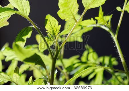 Plantation Of A  Tomato In The Vegetable Garden, Back Lit