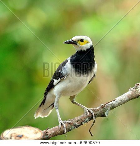 Black-collared Starling Bird (sturnus Nigricollis) On The Branch