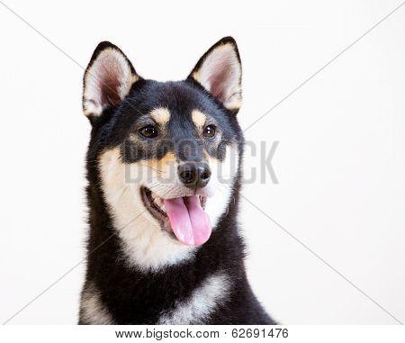 Black shiba smile