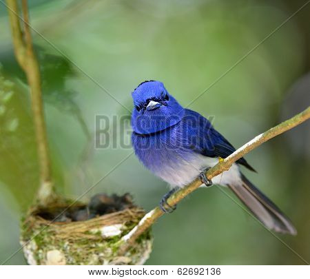Black-naped Blue Flycatcher Guarding Its Chicks In The Nest With Love, Great Blue Bird Family