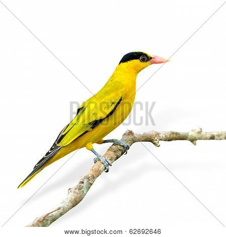 Black-naped Oriole, Beautiful Bright Yellow Bird (oriolus Chinensis) Isolated On White Background