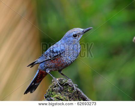 Blue Bird, Blue Rock Thrush (monticola Solitarius) With Breeding Plumage