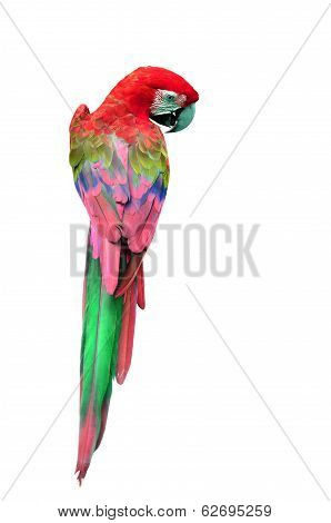 Colorful Red Macaw Bird In Back Profile, Parrot Isolated On White Background