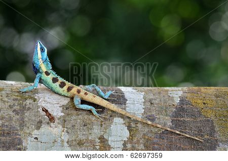 Full Body  Lenght Of Blue Lizard On Tree With Green Blue Background, Lacerta Viridis
