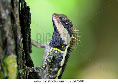 Greater Spiny Lizard, Acanthosaura Armata, Masked Spiny Lizard, Tree Lizard, Acanthosaura Crucigera