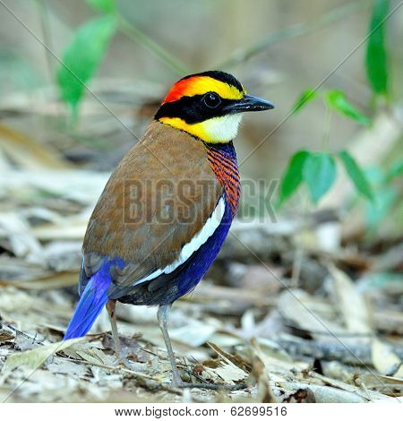 Male Of Banded Pitta (pitta Guajana) Standing On The Mess Ground