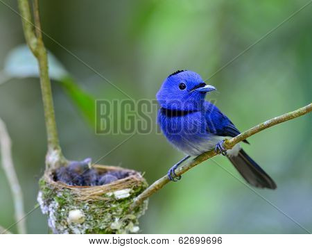 Male Of Black-naped Blue Flycatcher Guarding Its Chicks In The Nest With Love, Great Blue Bird Famil
