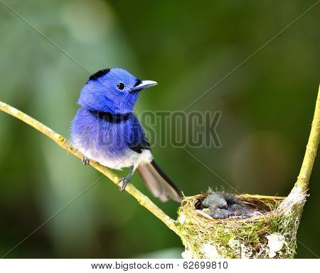 Male Of Black-naped Monarch Or Blue Flycatcher Guarding Its Chicks In The Nest With Love