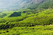 Kerala India travel background - green tea plantations in Munnar, Kerala, India close up