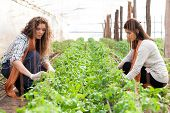 picture of dairy barn  - Two women workers planting on green crop - JPG