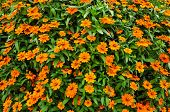 stock photo of zinnias  - orange flowers field background of Zinnia at chonburi in Thailand - JPG
