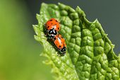 foto of water bug  - Beautiful Lady Bugs  - JPG