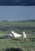 Three White Sheeps In Norway