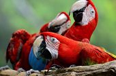 picture of green-winged macaw  - A Portrait naughty of Green - JPG